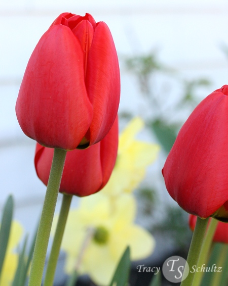 Endless Spring Tulip Red