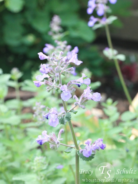 Nepeta Dropmore Hybrid by Tracy Schultz