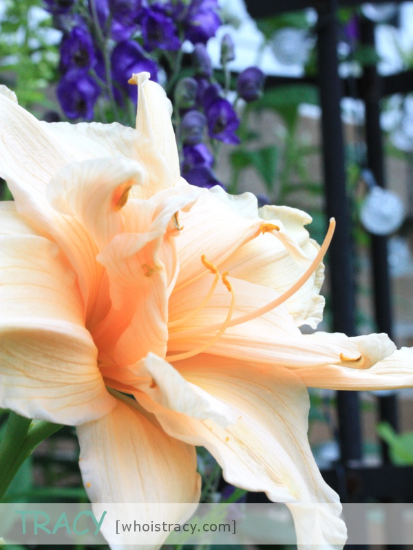 Daylily Ruffled Apricot by Tracy Schultz @whoistracy.com