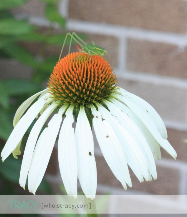 Echinacea White Swan by Tracy Schultz @whoistracy.com