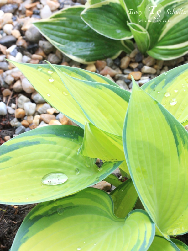 Hostas by Tracy Schultz @whoistracy.com