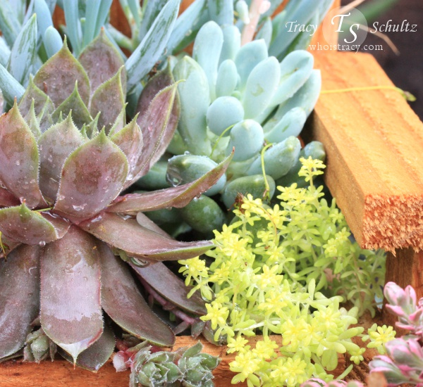 Sedum planter by Tracy Schultz @whoistracy.com