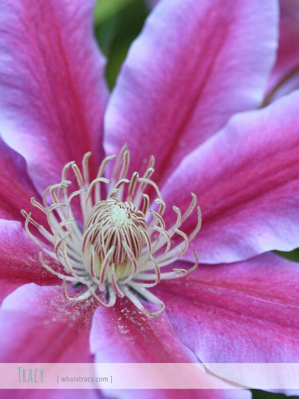 Clematis by Tracy Schultz