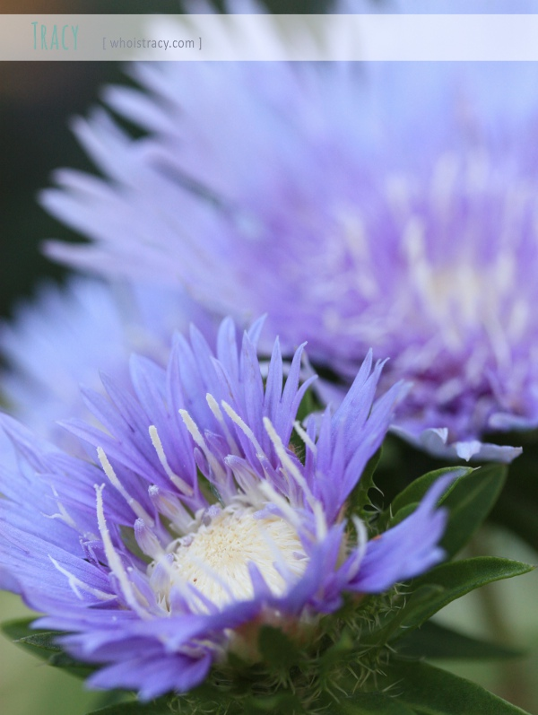 Stokesia flower by whoistracy.com